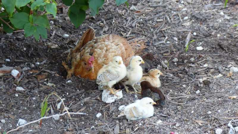 2016-05-22-1300680Hühner.jpg