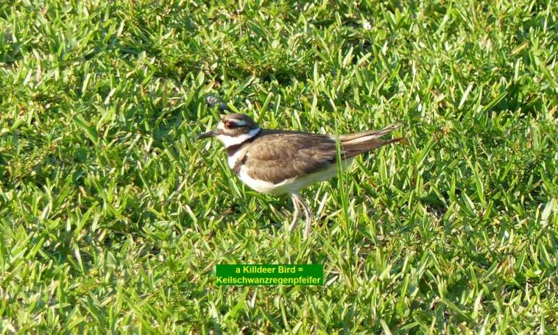 2016-05-23-56Killdeer-1300830a.jpg